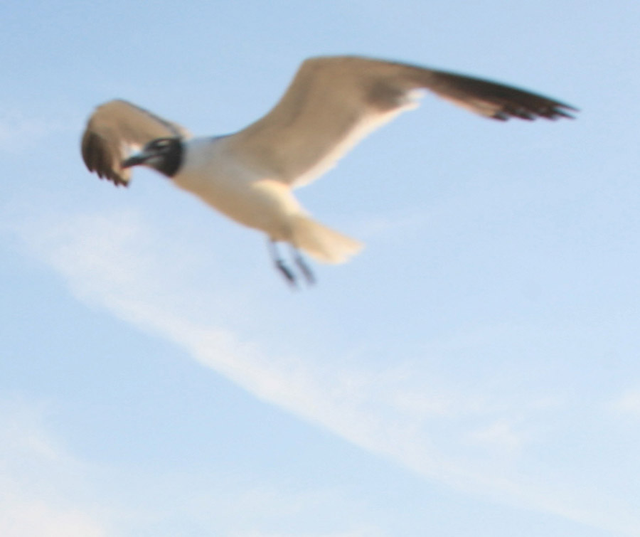 My Fling Sea Gull picture - Santoleri